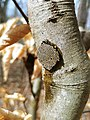 Assassin Bug Nest.jpg