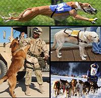 En haut: un chien de course  À gauche: un chien militaire  Au milieu à droite: un chien d'assistance  En bas à droite: des chiens de traîneau