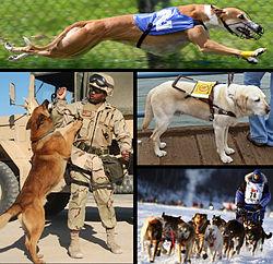 En haut: un chien de course A gauche: un chien militaire A droite en haut: un chien d'assistance A droite en bas: des chiens de traineau