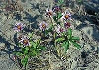 E. sibirica, sibirisk aster