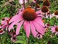 Asterales - Echinacea purpurea - 4.jpg