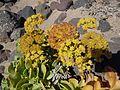 Astydamia latifolia Famara inflorescence.JPG