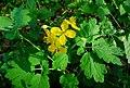 Atlas roslin pl Glistnik jaskółcze ziele 8277 8333.jpg