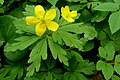 Atlas roslin pl Zawilec żółty 8129 6335.jpg