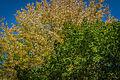 Au bonheur de l'automne au parc Mont-Royal (15528503695).jpg