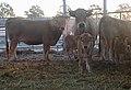 Aubrac kühe mit kälber.jpg