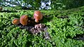 Auricularia fuscosuccinea in Association with Moss on Trunk.jpg