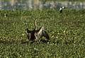 Australian Darter - Kakadu - Australia89Image56 (15386232886).jpg