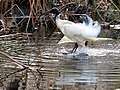 Australian White Ibis - The Royal Botanic Gardens - Sydney, Australia (9530974467).jpg