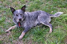 Australian blue cattle dog 04.JPG