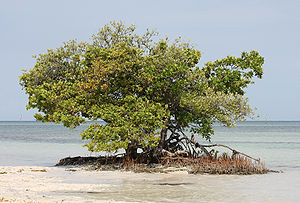 English: Black mangrove (lighter colored leave...