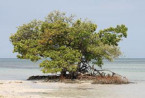 Avicennia germinans & Rhizophora mangle.jpg