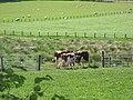 Ayrshire cattle - geograph.org.uk - 1330308.jpg