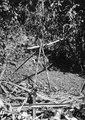 Början till ett giller för aguti-fångst. Pearl Islands. Panama - SMVK - 004144.tif