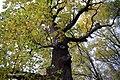 Błażowa - pomnik przyrody - panoramio.jpg