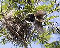 Babbler nest 2 (15803007844).jpg