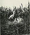 Baby birds at home (1912) (14564793849).jpg