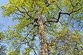 Badenweiler - Kurpark - Amerikanischer Tulpenbaum (41).jpg