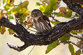 Description de l'image Baja Pygmy Owl (Glaucidium hoskinsii) (8079381167).jpg.