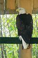 Bald eagle sovtNHM.jpg
