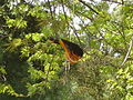 Baltimore Oriole Orange.JPG