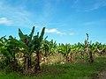 Bananen Staude (23134726726).jpg