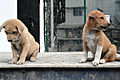 Bangladeshi Puppies behavior (03).jpg