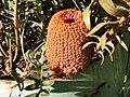 Banksia blechnifolia latebud1 orig.jpg