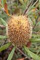 Banksia ornata (Desert Banksia) (4893016351).jpg
