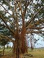 Banyan Trees are very common here.jpg