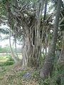 Banyan tree in East Godavri district.jpg