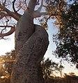 Baobab baobab.jpg