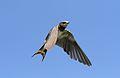 Barn swallow, Hirundo rustica, at Rietvlei Nature Reserve, Gauteng, South Africa (31269331312).jpg