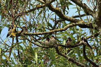 Barn swallow - H. r.rustica juveniles
