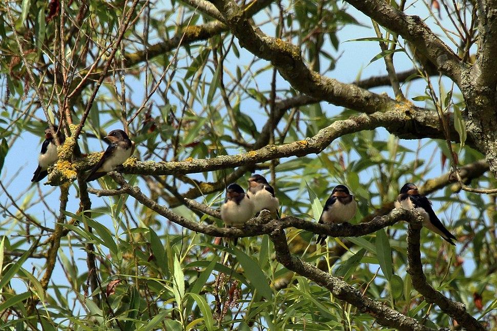Barn swallow (Hirundo rustica rustica) juveniles