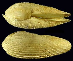 Pholadidae - Two views of a whole shell of Barnea candida