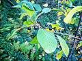 Barut ağacı (Frangula alnus).jpg