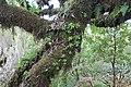 Baumveteran im Laurisilva von Madeira zwischen Paul da Serra und Fanal IV.jpg