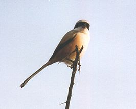 Bay backed Shrike.jpg