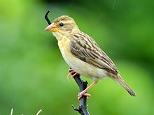Baya weaver (Ploceus philippinus) female ♀ Photograph by Shantanu Kuveskar.jpg