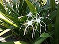 Beach spider lily.jpg