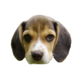 Beagle puppy's head.png