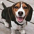Beagle puppy Cadet 2.jpg