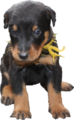 Beauceron 3 semaines.png