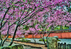 City of Auburn - Cherry blossom trees in the Japanese Garden of the Auburn Botanic Gardens.