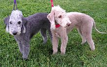 Two small dogs with curly fur and an oval-shaped head with no distinct muzzle. One is liver-colored, fading to white at its points, and the other is gray, fading to white at its points.