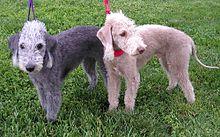 Bedlington Terrier - WikiVisually