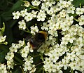 Bee (28082452616).jpg