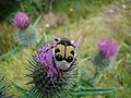 Bee beetle on a thistle in Glen Affric - geograph.org.uk - 1110391.jpg