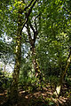 Beech and oak canopy, Forty Hall, Enfield, London, England.jpg